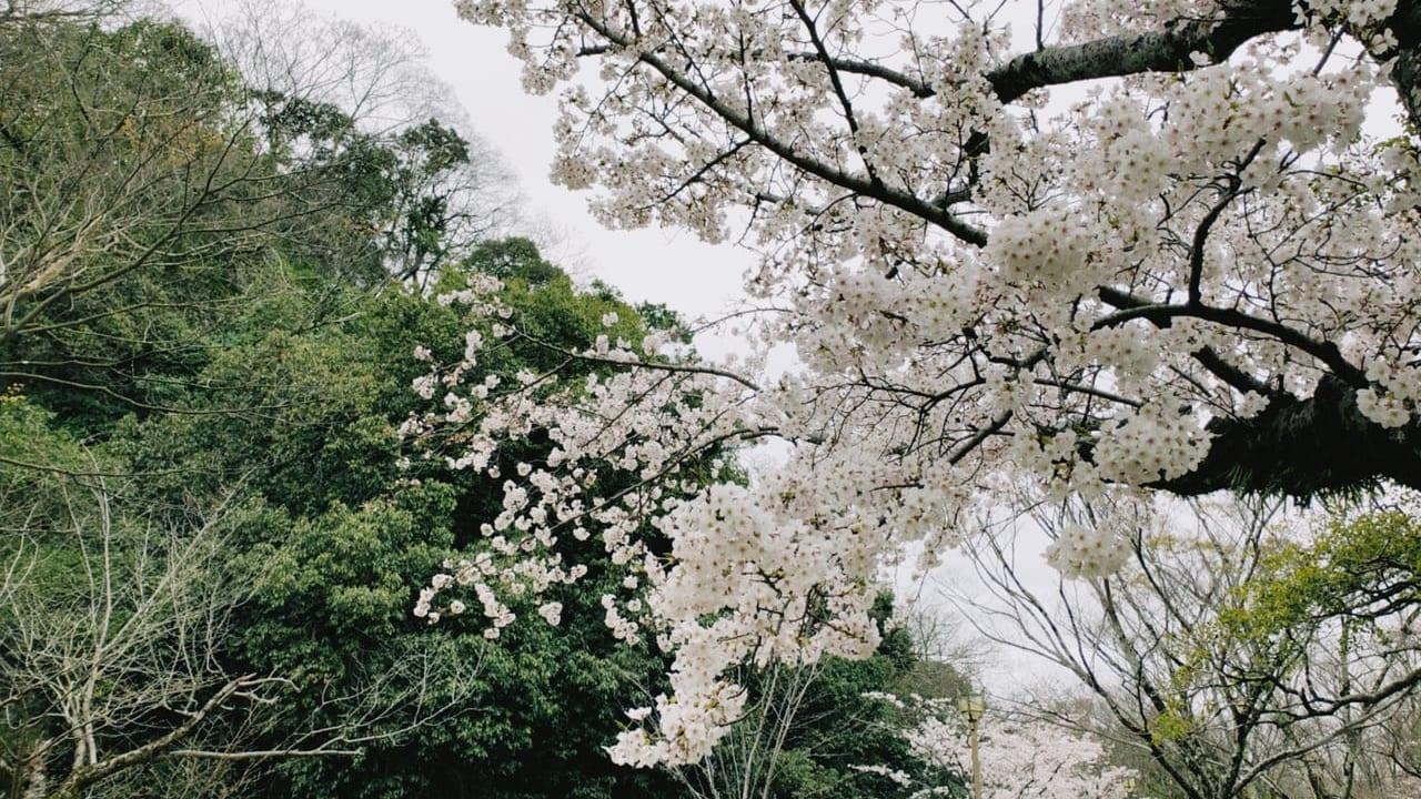 2020年姫路桜